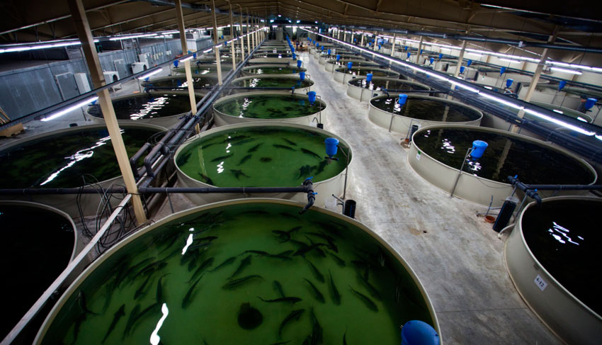 Bir iş olarak evde üreme mersin balığı: nerede başlar